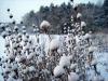 Winter in der Gärtnerei am Karpfenteich - Phlomis tuberosa / Knollen-Brandkraut