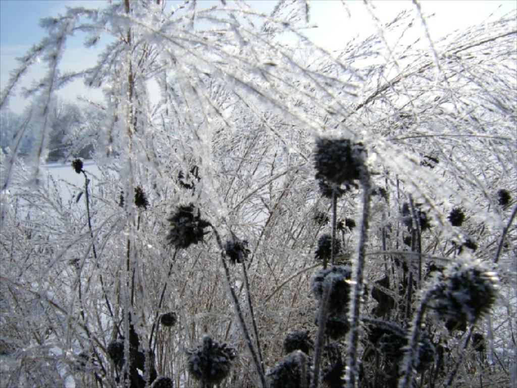 Winter in der Gärtnerei am Karpfenteich - Molinia mit Helianthus / Pfeifengras mit Sonnenblume