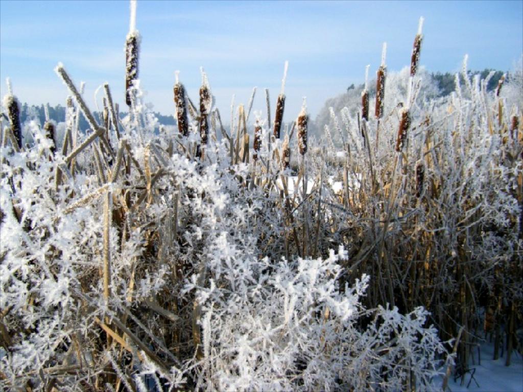 Winter in der Gärtnerei am Karpfenteich - Typha latifolia / Rohrkolben