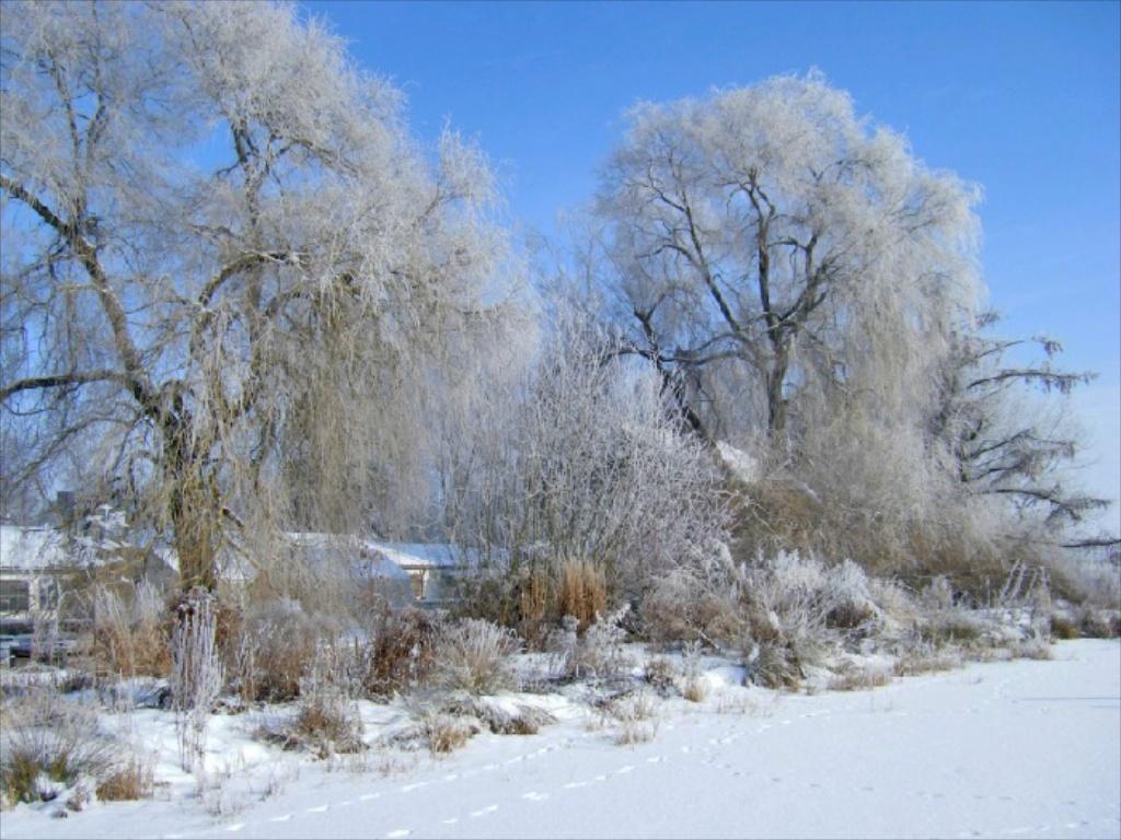 Winter in der Gärtnerei am Karpfenteich - Salix alba Tristis / Trauerweide