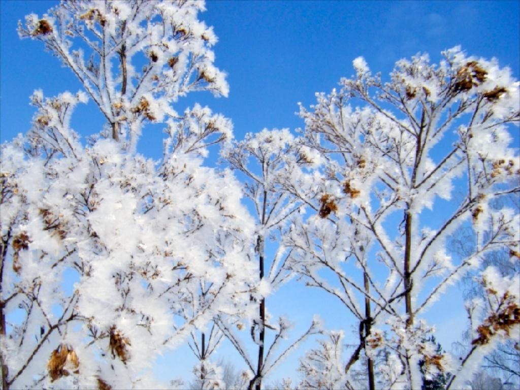 Winter in der Gärtnerei am Karpfenteich - Eupatorium / Wasserdost