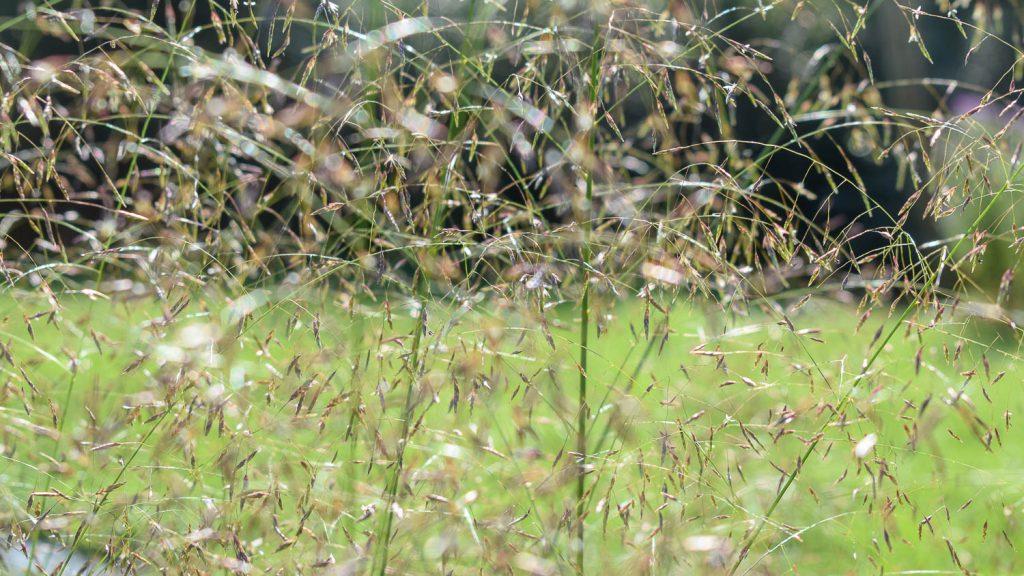 Eragrostis trichodes (Liebesgras)