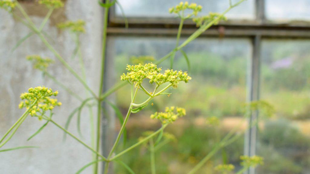 Patrinia monandra (Goldbaldrian)