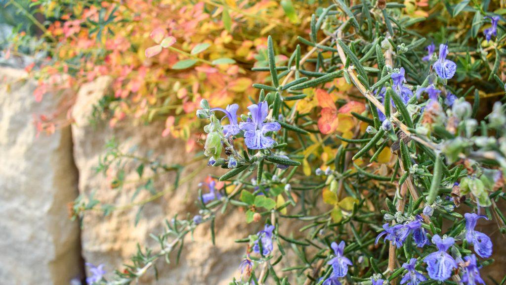 "Rosmarinus officinalis ""Severn Sea"" (Rosmarin)"