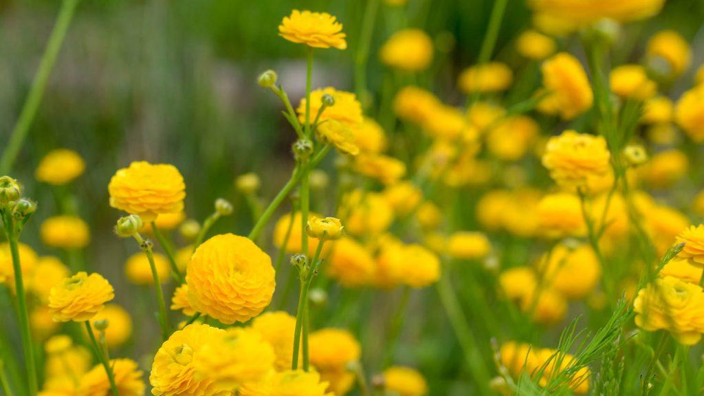 """Ranunculus acris """"Multiplex"""" (Hahnenfuß)"""