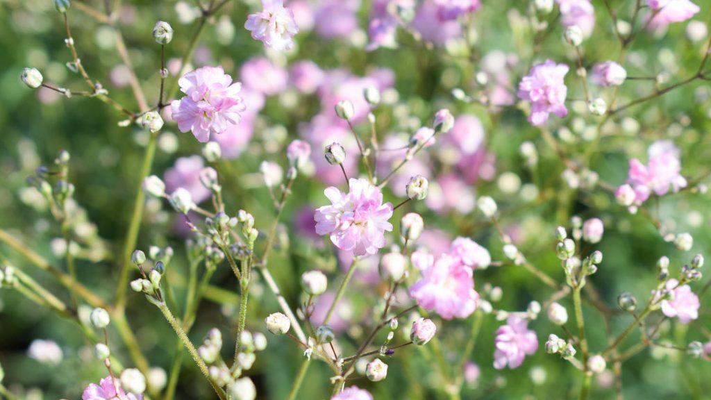 """Gypsophila paniculata """"Maytime"""" (Schleierkraut)"""
