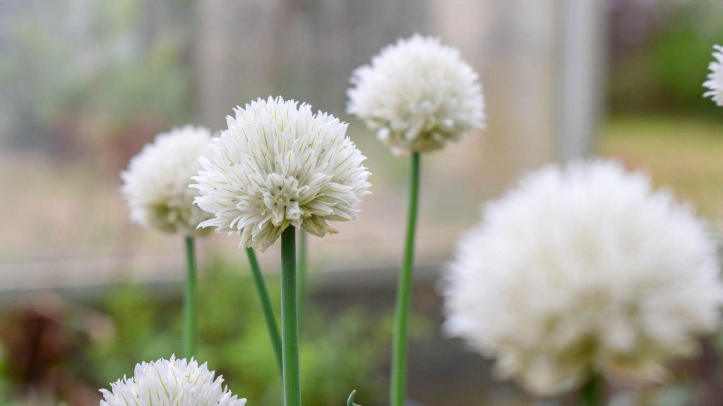 """Allium schoenoprasum """"Wallington White"""" (Schnittlauch)"""